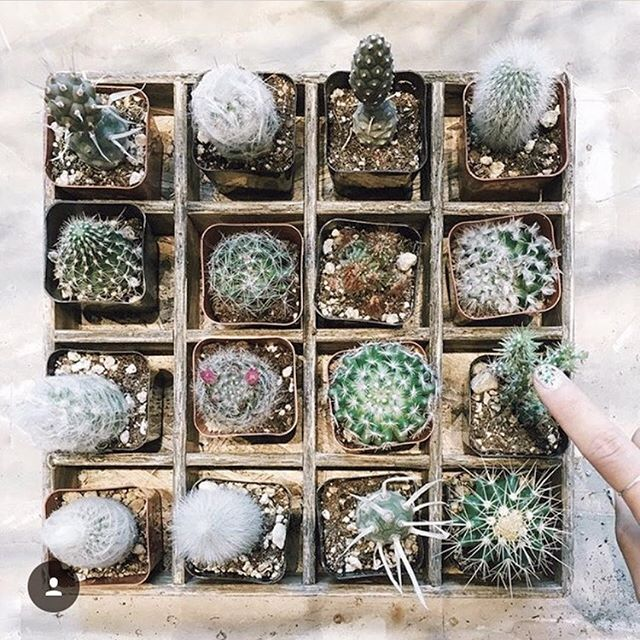 We've got loads of these little spiky friends ready for you to take home. Come (carefully!) pick out a couple today! ⠀ ⠀ : @justgowithit
