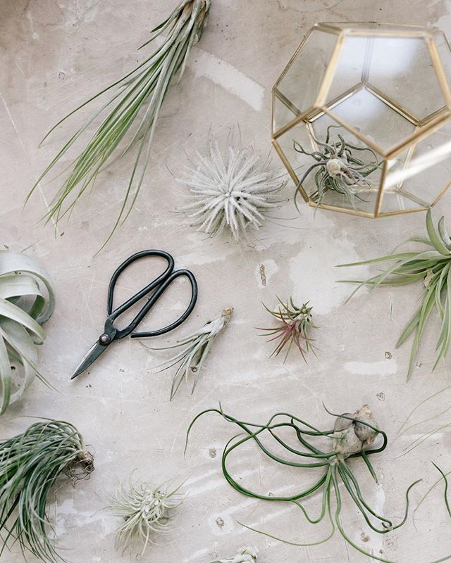 We've got loads of great air plants to choose from.  A shop favorite is the fuzzy, white tectorum Ecuador, affectionately know as Snowball.