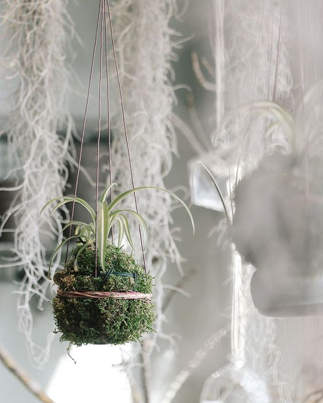 Pretty morning light and sweet hanging kokedama by @mypoppyandfinch .