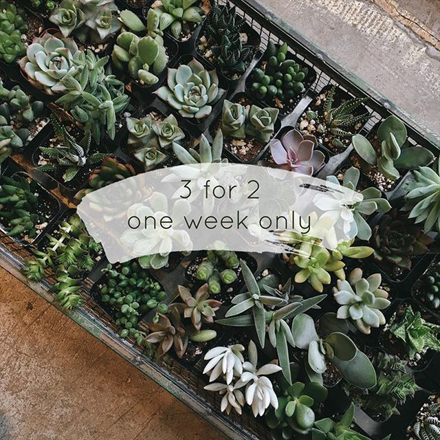 "This is happening! One week only: buy two 2"" succulents or cactuses and third one is on us"