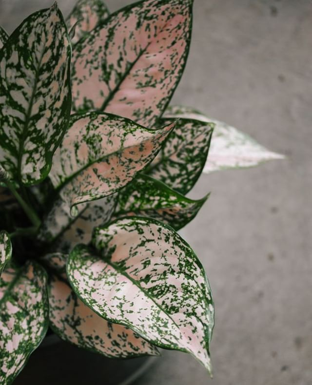 Aglaonema is one of the easiest houseplants to grow. This beauty features dark green leaves heavily variegated in pale pink. Able to tolerate just about every indoor condition, from low light to high, Aglaonema is also wonderfully tolerant when it comes to your watering schedule ;)