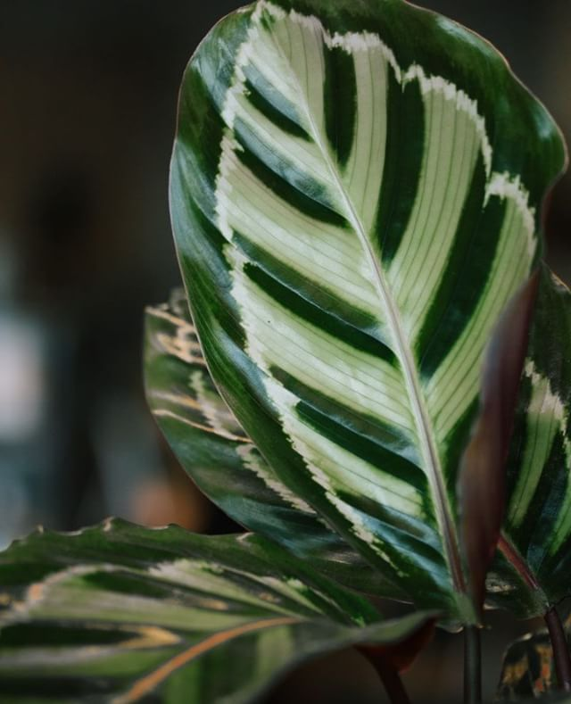 Calathea's beautiful leaves can be a main accent piece of your living space. We have a few of them in the shop now. Come stop by to pick your new plant baby.