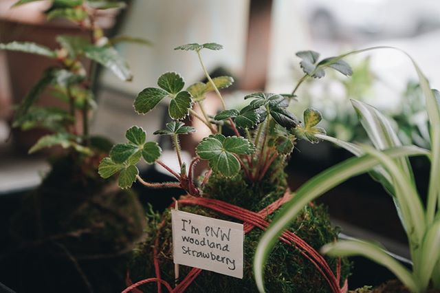 Sweet woodland strawberry kokedama by our very own @mypoppyandfinch. Stop by and pick out your favorite.